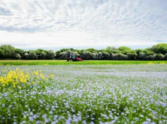 linen flax fields