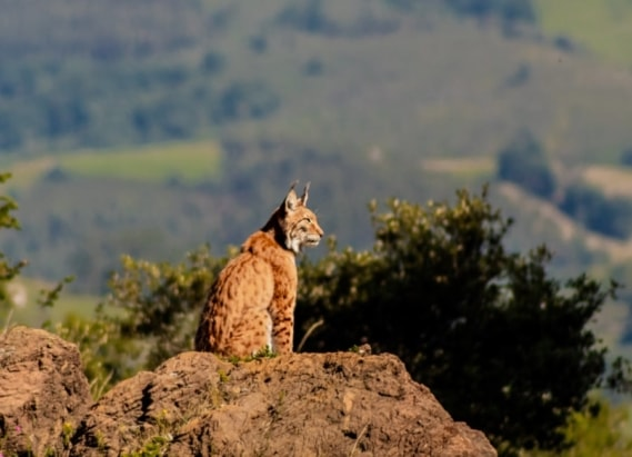 wild lynx in the countryside