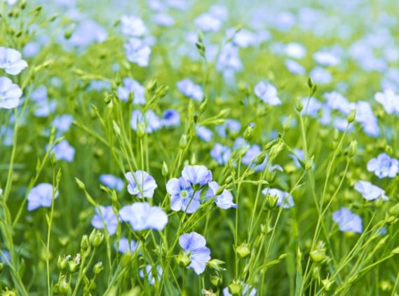 flax plant flowering in the fields